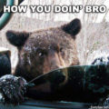 Bear hello